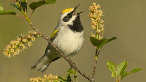 singing_bird
